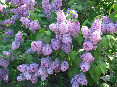 inflorescence: Lilac inflorescence