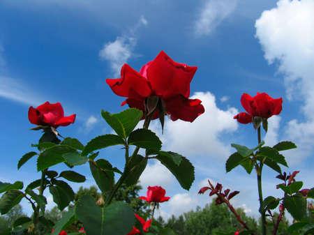 Rose-bushes on blue sky background