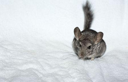 Chinchilla on the white towel photo