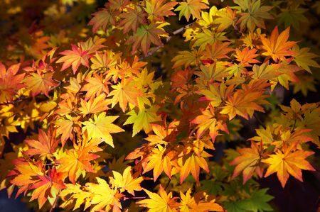 branch of maple tree with red leafs photo