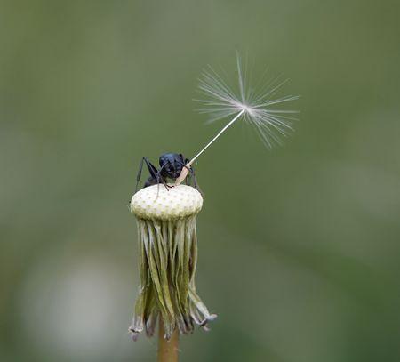 Closeup of Ant on bald dandelion photo