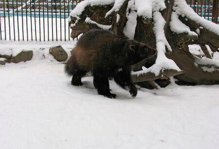 glutton: Glutton on the snow