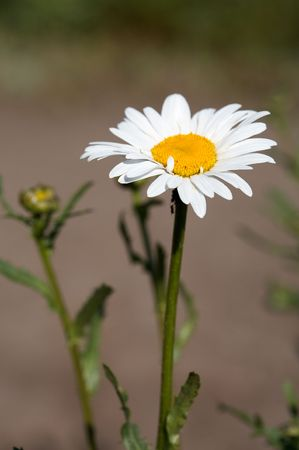 Head of ox-eye daisy  flower on lens-blured background  Stock Photo - 6443268