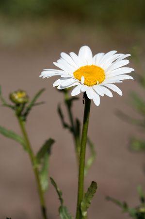 Head of ox-eye daisy  flower on lens-blured background Stock Photo - 6443268