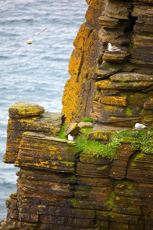 Birds Fulmar rookery on cliffs in the Norh-East of Scotland photo