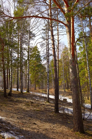 Siberian forest pine conifer at Spring time Stock Photo - 9461532