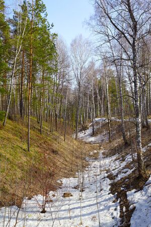 siberian pine: Siberian pine conifer forest  in ravine at Spring time Stock Photo