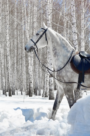 outdoor shot of pale horse in sunny winter birch forest photo