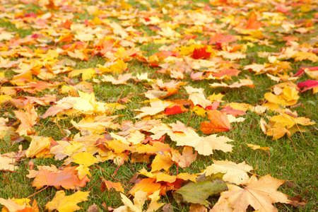 Yellow autumn maple leaves on green grass photo