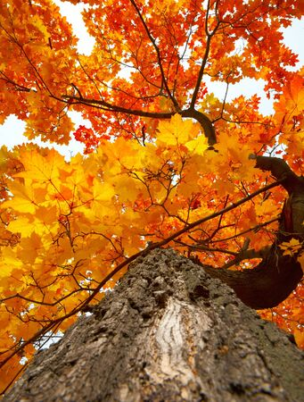 Maple tree trunk with uellow and red autumn leaves photo