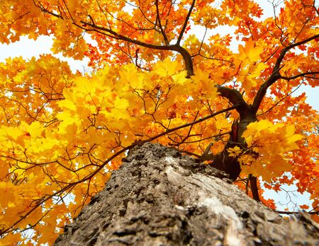 Maple tree trunk with uellow and red autumn leaves Stock Photo - 10636676