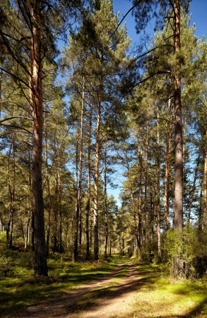 chemal: Altai pine forest near river Katun at summer in Chemal district Stock Photo