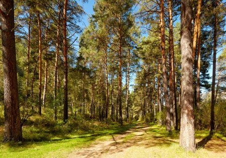 footway: Altai pine forest near river Katun at summer in Chemal district Stock Photo
