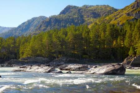 chemal: Water landscape - river Katun with pine forest in Chemal district