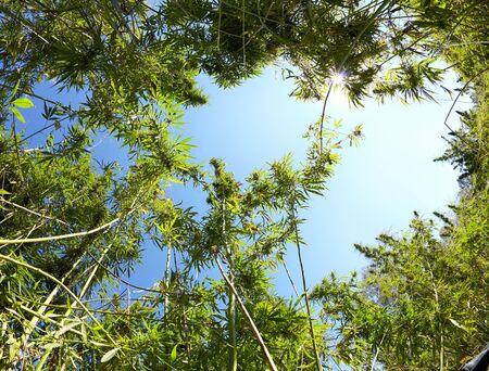 hemp: Low angle view on Cannabis and blue sky Stock Photo