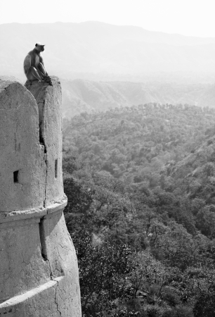 Indian monkey langur on the wall of ancient Kumbhalgarh Fort in Rajastan Stock Photo - 16734522