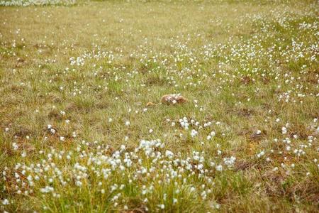 carex: Chick of gray crane  Grus grus  hidding under tundra cotton grass in Kolyma area of Yakutia