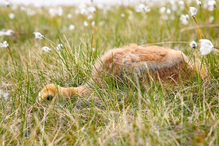 carex: Chick of gray crane  Grus grus  hiding under tundra cotton grass in Kolyma area of Yakutia Stock Photo