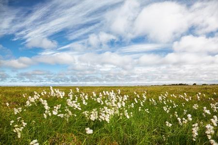 carex: Cotton grass tundra Nizhnekolymsky District of Sakha Yakutia Stock Photo