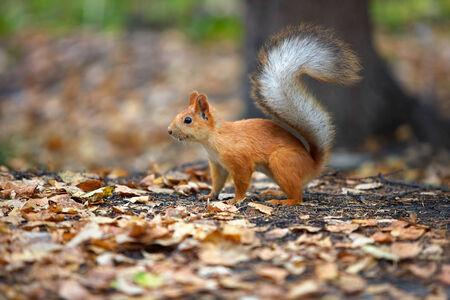red squirrel: Red squirrel Sciurus vulgaris in the autumn forest Stock Photo