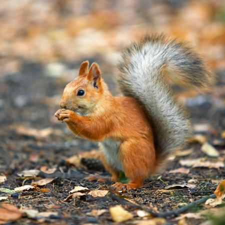 red squirrel: Red squirrel Sciurus vulgaris eating sunflower seeds in the autumn forest