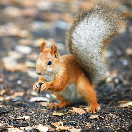 Red squirrel Sciurus vulgaris eating sunflower seeds in the autumn forest photo