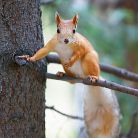 Red squirrel Sciurus vulgaris on tree  in the autumn forest photo