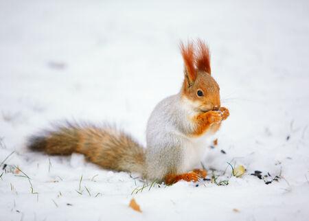 red squirrel: Squirrel Sciurus vulgaris eating sunflower seeds on the snow Stock Photo