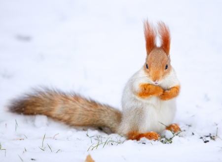 Squirrel Sciurus vulgaris eating sunflower seeds on the snow photo