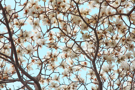 White Spring magnolia flowers on blue sky background photo