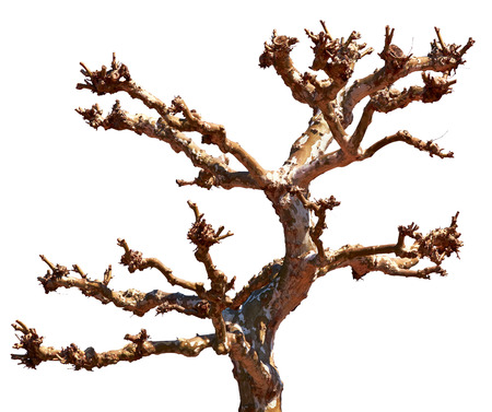 Old dry dead tree trunk and branches isilated on white background Stock Photo
