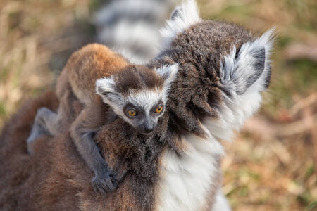 Ring tailed lemur catta with baby photo