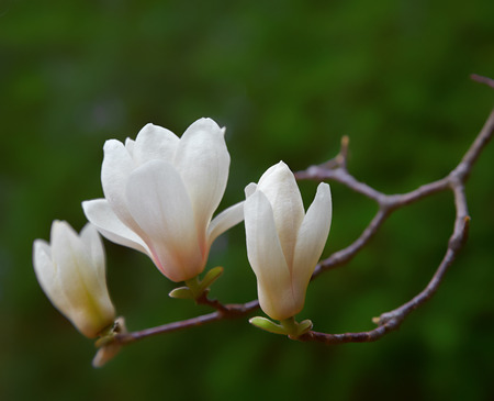 White Spring magnolia flowers photo