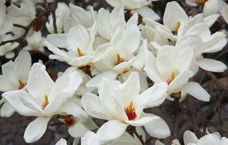 White Spring magnolia flowers photo