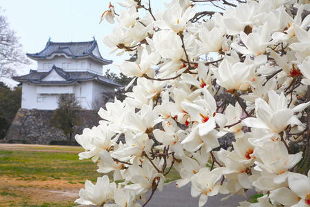 White Spring magnolia flowers with Nagoya Castle on background