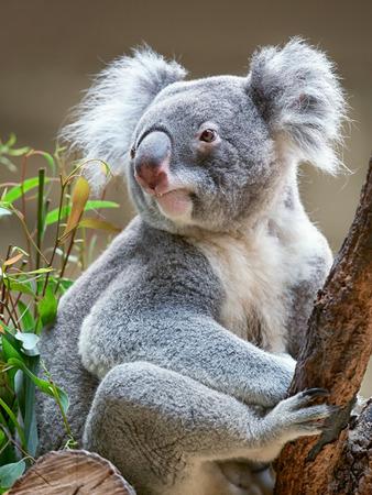 koala bear: Koala bear sitting on a branch