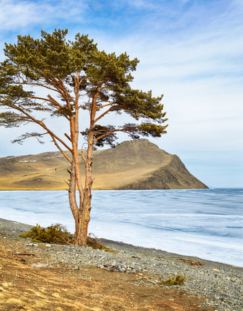 Lonely tree near Baikal lake and Olhon island in Siberia at winter photo