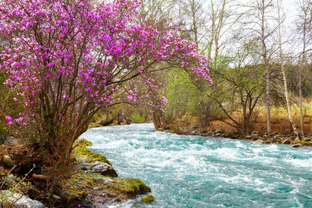 Altai landscape with Rhododendron dauricum with flowers over river Ilgumen