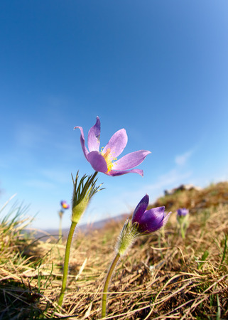 altay: Pulsatilla flowers on blue sky background  in Altay mountains Stock Photo