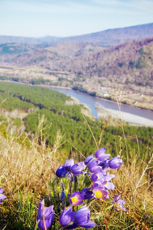 altay: Pulsatilla flowers in Altay mountains with Katun river on background Stock Photo