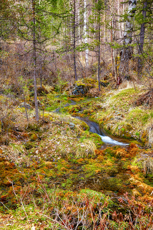 swampy: Swampy mossy stream in Altay Taiga