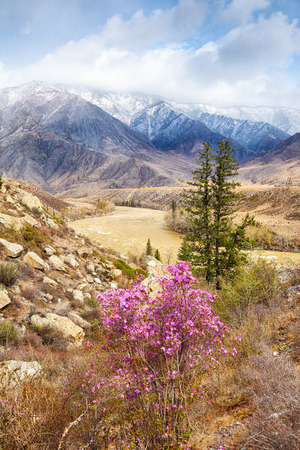 katun: Altai landscape with Rhododendron dauricum flowers on foreground, spruce and river Katun on middleground and mountains on background
