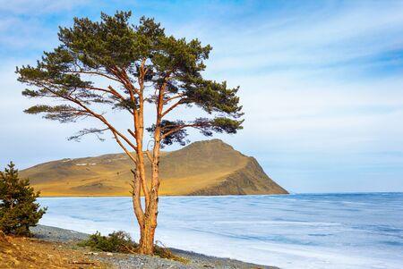 baical: Lonely tree near Baikal lake and Olhon island in Siberia at winter Stock Photo