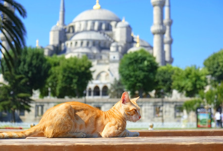 Ginger sunny cat in front of Blue Mosque  Sultan Ahmet Camii  in Istanbul, Turkey