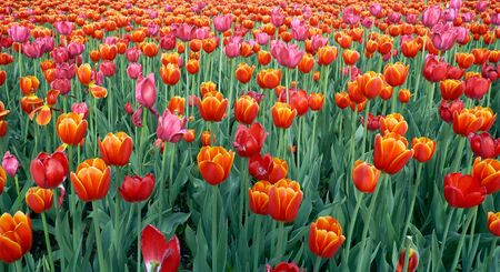 flower bed: Flower bed of bright orange-red tulips at Spring time Stock Photo