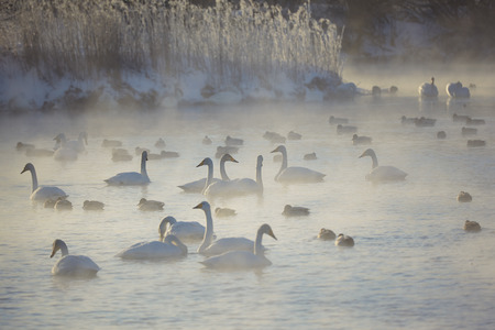 wintering: Swans and ducks in mist on altai lake Svetloe at early morning