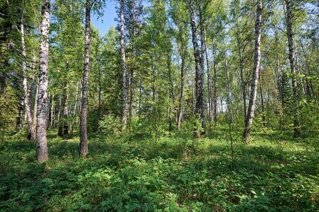 betula pendula: Siberian birch forest at Spring time