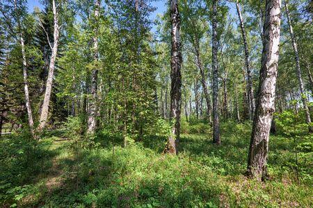 betula pendula: Siberian birch forest at Spring time