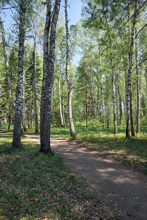 betula pendula: Path trough Siberian birch forest at Spring time Stock Photo
