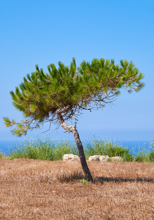 morphology: A lonely pine shaped by the wind growing on the scorched earth on the Mediterranean coast near Hagar Qim megalithic temple, Malta Stock Photo